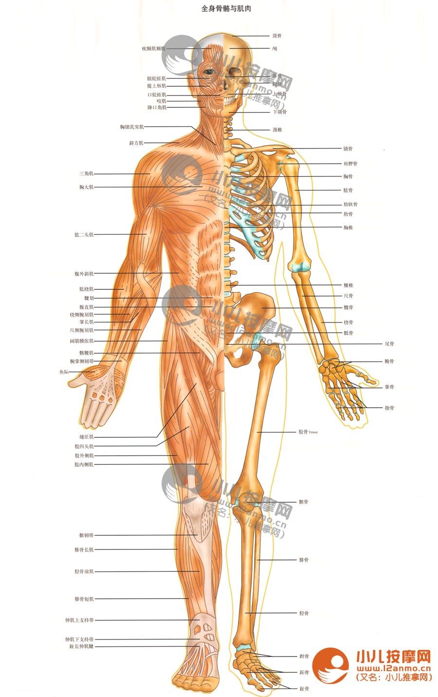 人体骨骼与肌肉示意图